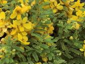 認識植物2.0 (59) 長:長春槐bf8467.JPG