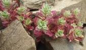 認識植物2.0 (63) 南:南湖柳葉菜xx01.jpg
