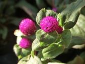 植物隨手拍 D:千日红 d7270.JPG
