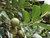 認識植物(65) 黃:黃心柿bn5152.JPG