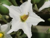 認識植物(70) 腰萬萱萼落葉葎葛葡葫葶蒂:萬桃花bw2201.JPG