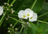 認識植物(64) 象費貼超酢量鈕開陽雁雲韌須:象耳澤瀉xx02.jpg