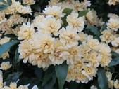 認識植物(65) 黃:黃木香花dq3549.JPG