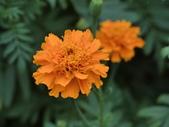認識植物(70) 腰萬萱萼落葉葎葛葡葫葶蒂:萬壽菊 x5511.JPG