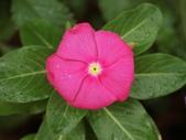 認識植物2.0 (59) 長:長春花 v9840.JPG