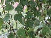 認識植物2.0 (59) 長:長春藤 n1579.JPG