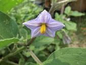 認識植物(65) 黃:黃水茄ah2082.JPG