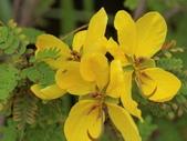 認識植物2.0 (59) 長:長春槐bf9383.JPG