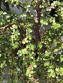 植物隨手拍 BP:樹馬齒莧bp6563.JPG