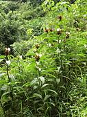 認識植物(56) 釣閉陰陸雀雪魚鳥鹵:閉鞘薑bb6464.JPG