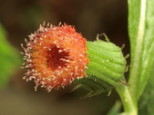 認識植物2.0 (69) 昭枯枳枸柃:昭和草 x2076.JPG