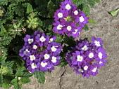 植物隨手拍 BP:美女櫻bp3523.JPG