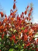 認識植物2.0 (59) 長:長虹木xx02.jpg