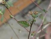 植物隨手拍 L:金午時花 L8196.JPG