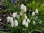 認識植物(70) 腰萬萱萼落葉葎葛葡葫葶蒂:葡萄風信子xx02.jpg