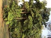 植物隨手拍 CJ:叢立孔雀椰子cj7760.JPG