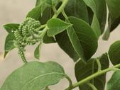 植物隨手拍EB:冷飯藤eb8143.JPG