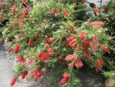 認識植物2.0 (33) 串亨伸佛克:串錢柳 y4441.JPG