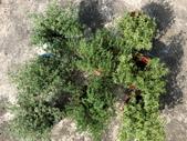 認識植物2.0 (29) 百竹:百里香cq9435.JPG