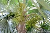 認識植物2.0 (30) 米羊羽老考:米拉瓜銀棕zz01.jpg