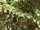 植物隨手拍 CJ:叢立孔雀椰子cl6757.JPG