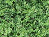 植物隨手拍 CJ:穗花木藍cj2631.JPG