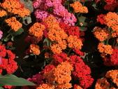植物隨手拍 P:三色長壽花 p4327.JPG