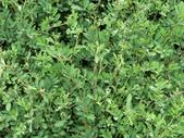植物隨手拍 CJ:穗花木藍cj2633.JPG