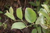 認識植物(63) 菜菝菟菠菩菫華菱菲菸菾萎著蛛蛟裂:菝契zz02.JPG