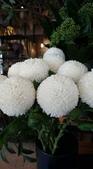 認識植物2.0 (23) 乒交伊伏光:乒乓菊xx05.jpg