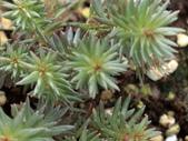 認識植物2.0 (30) 米羊羽老考:米瑟羅塔蓮dg9383.JPG