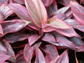 認識植物2.0 (66) 威娃屋屏峇:娃娃朱焦 k0606.JPG