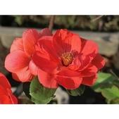 認識植物(58) 寒戟掌提散敦斐斑:相簿封面