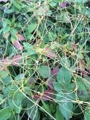 認識植物(63) 菜菝菟菠菩菫華菱菲菸菾萎著蛛蛟裂:菟絲子xx01.jpg