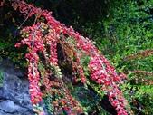 認識植物(69) 當痲矮碎碗稗稜節粳群義聖:矮生栒子xx02.jpg