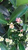 認識植物2.0 (23) 乒交伊伏光:交趾衛矛xx02.jpg