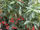 認識植物2.0 (28) 朱朴江池灰:朱砂根 n3624.JPG