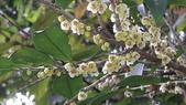認識植物2.0 (30) 米羊羽老考:米碎拎木xx01.jpg