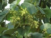 認識植物2.0 (32) 血西:血桐az9435.JPG