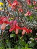 認識植物2.0 (59) 長:長劍羽毛花xx02.jpg