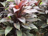 認識植物2.0 (66) 威娃屋屏峇:娃娃朱焦 k7291.JPG