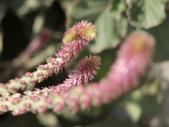 植物隨手拍 P:土牛膝 p4911.JPG