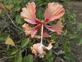 植物隨手拍 X:木槿 x0600.JPG