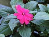 植物隨手拍CW:超級鳳仙cv9016.JPG