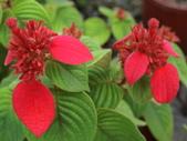 植物隨手拍 AK:紅葉金花ak0585.JPG