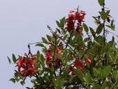 植物隨手拍 CJ:雞冠刺桐cj6581.JPG