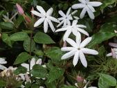 植物隨手拍 X:毛茉莉 x9492.JPG