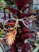認識植物2.0 (67) 帝後恆扁:帝王鳳梨xx03.jpg