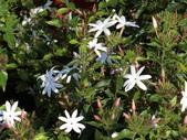 植物隨手拍 X:毛茉莉 x9493.JPG