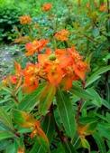 認識植物(67) 圓塊奧幹愛愷:圓苞大戟xx03.jpg